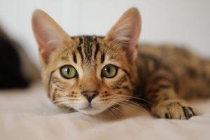 Escala facial para reconhecimento da dor em gatos