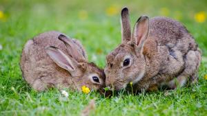 Escala facial de dor em coelhos