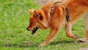 Firocoxibe para osteoartrite em cães