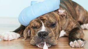Guia Sobre Tratamento Da Dor Em Pequenos Animais