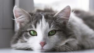 Validação de escala de dor aguda em gatos