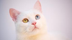 Opções de analgesia em gatos