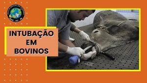 Intubação em bovinos
