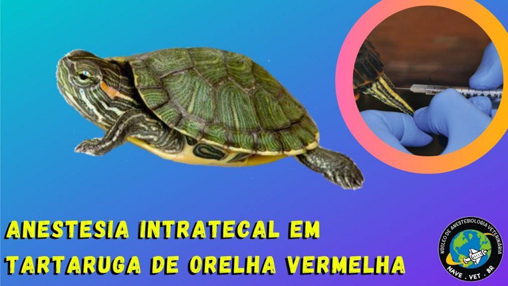 Anestesia intratecal em tartaruga (Trachemys scripta elegans)