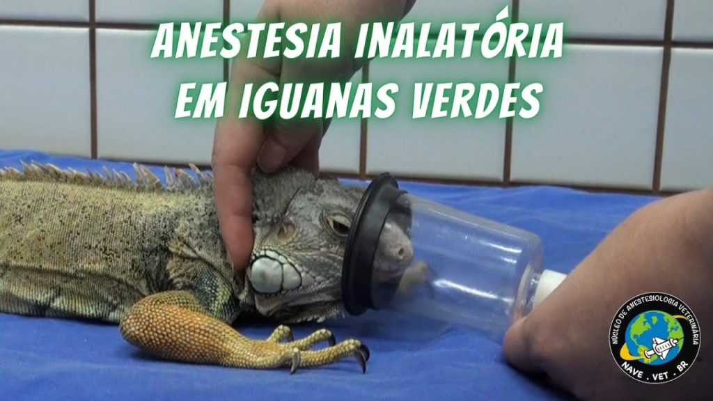 Anestesia Inalatória em Iguanas